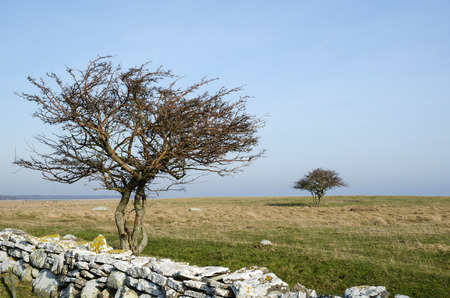 oland: Two bare trees by a stonewall at the swedish island Oland