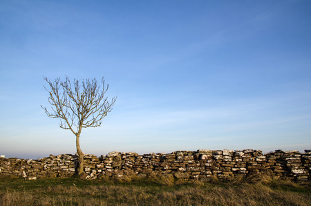 oland: Solitaire tree at an old stonewall at the swedish island Oland