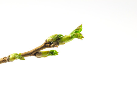 Black currant twig with sprouts on white background Standard-Bild