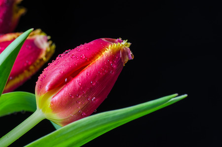 dewdrops: Tulip closeup with dewdrops at black background