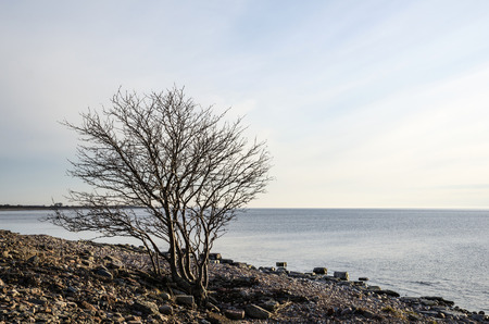 oland: Lone tre at a rocky coast by the swedish island Oland in the Baltic sea
