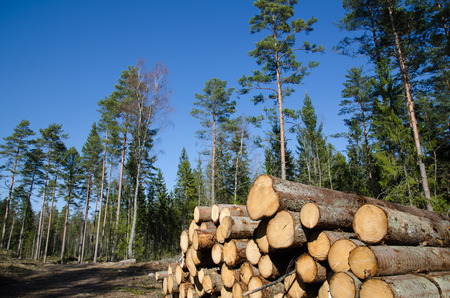 Closeup of a Whitewood timberstack in a forest photo