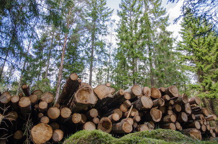 Low angle photo of a logpile in a coniferous forest