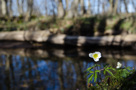 Wood anemone at a small creek with reflections in water photo