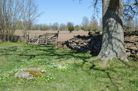 Springtime with blossom wood anemones in an old rural landscape photo