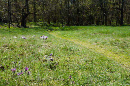Springtime beauty of pasque flowers along a footpath at a deciduous forest glade