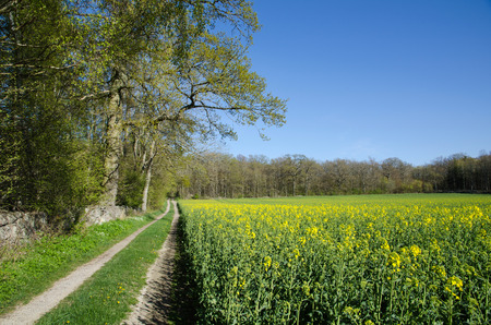 Canola field in a deciduous forest landscape photo