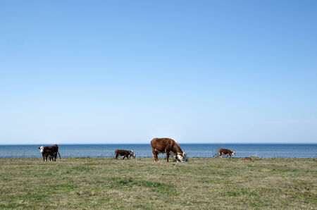 oland: Grazing cattle at spring by the coast of the swedish island oland Stock Photo