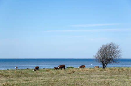 oland: Grazing cattle at springtime by the coast of the swedish island oland