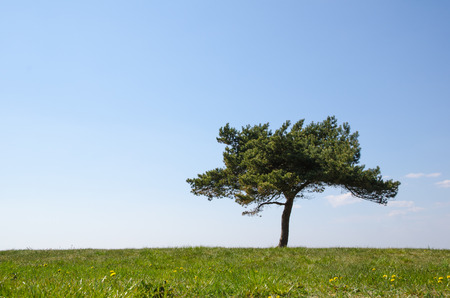 Single pine tree at green grass with dandelions in springtime photo