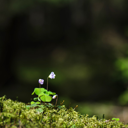 Sunlit wood sorrel at a mossy ground photo