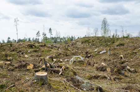 timber cutting: Stumps at a clear cut forest area