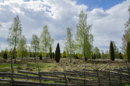 pastureland: Old pastureland with birches and junipers at springtime
