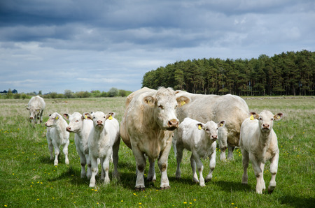 Herd of charolais cattle with many calves in a pastureland 写真素材