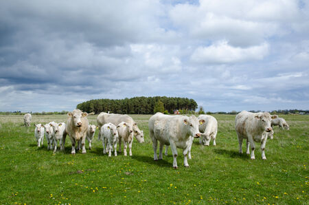 Charolais cattle herd at a green field in springtime photo