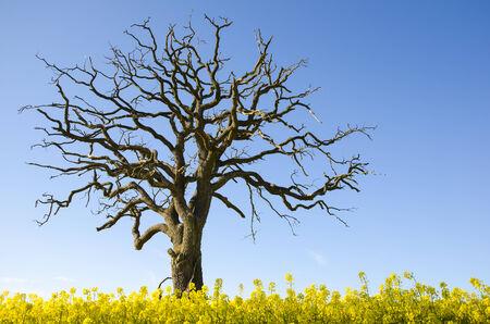 Lone dead oak tree at blue sky in a canola field