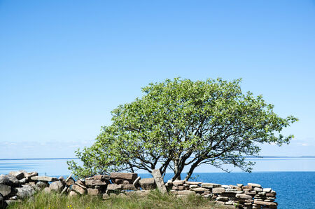 oland: Single tree by a stonewall at coast with calm water  From the swedish island Oland