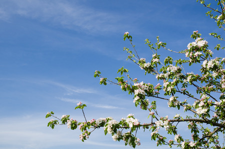 Blossom apple tree branch at blue sky photo