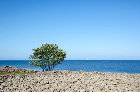oland: Blossom lone whitebeam tree at the coast of the swedish island Oland