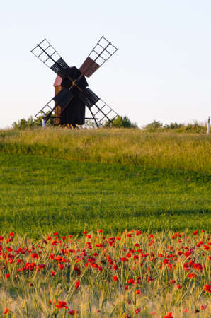 oland: Field of poppies in front of an old windmill at the swedish island Oland