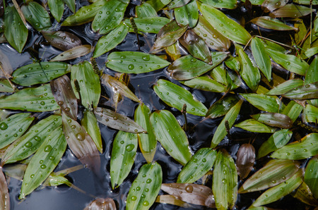 Background of fresh and shiny bog pondweed laeves pattern with waterdrops