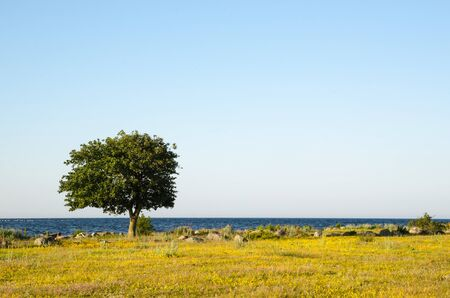oland: Yellow field with a lone tree by the coast at the swedish island Oland Stock Photo