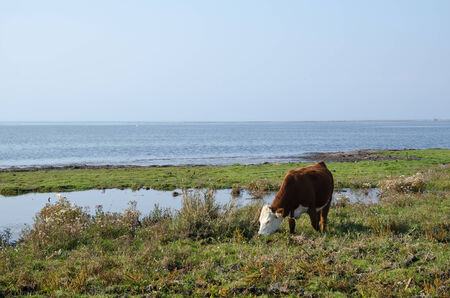 oland: Grazing cow by the coast of Baltic sea at the island Oland in Sweden Stock Photo