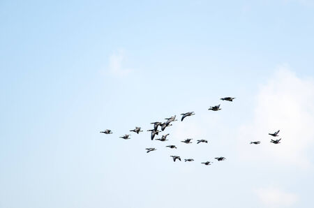Formation of migratory birds at fall