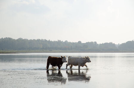 Two young cows walking in water at a misty early fall day photo