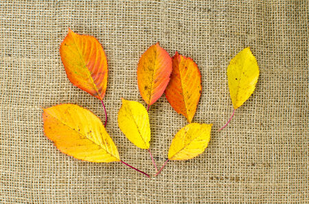 Autumn colored leaves from a cherry tree at burlap surface photo