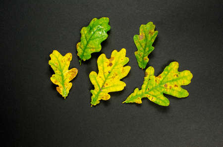 Autumn colored oak tree leaves at dark background photo