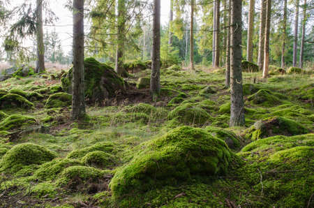 A bright and rocky coniferous forest with shiny green moss photo