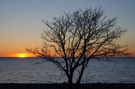 oland: Bare tree at sunset by the coast with colorful sky and blue water. From the swedish island Oland.