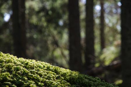 Nahaufnahme der grünen Moos in einem Nadelwald mit Silhouetten von Baumstämmen im Hintergrund Lizenzfreie Bilder