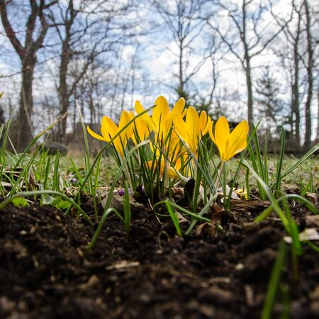 low perspective: Low perspective image of a yellow shiny crocuses group in a garden
