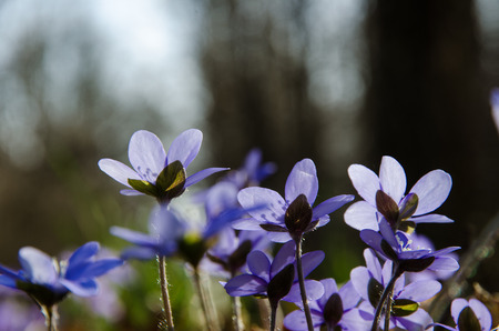 hepatica: Closeup of a group back lit hepatica flowers Stock Photo