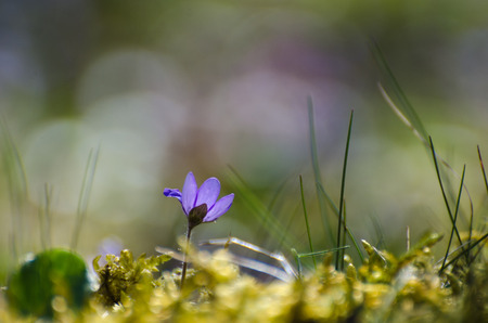 low perspective: Blue Hepatica, springtime sign in a low perspective image