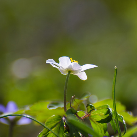 grassroots: Low perspective image of a bloosom windflower with a soft green background