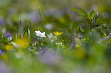 windflower: Colorful springtime on the ground with focus on one white windflower at a soft background of spring colors.