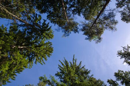 Photo taken from the ground upwards to the tree tops at blue sky photo