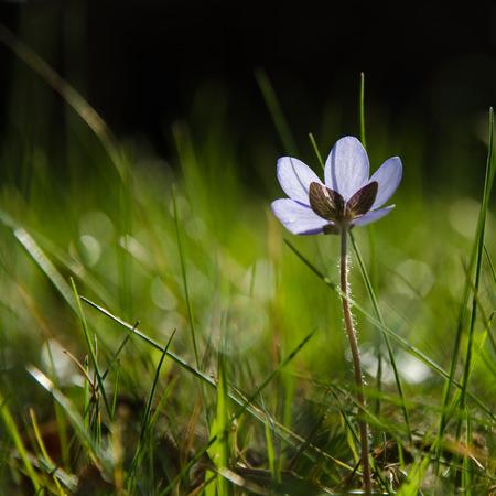 hepatica: Low angle photo of a backlit shiny Hepatica flower
