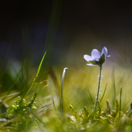 low perspective: Soft image with a single backlit Hepatica in the green grass and moss. Photo is taken from a low perspective.