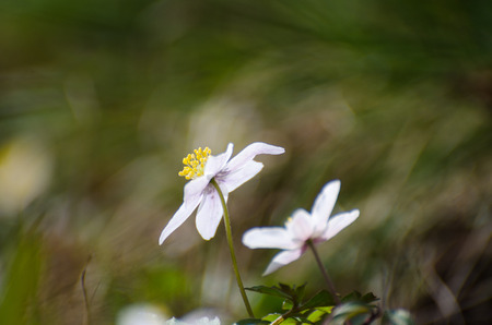 windflower: Blossom windflower closeup with blurry background