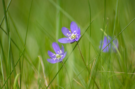 low perspective: Two soft blue Hepaticas among grass straws in a low perspective photo