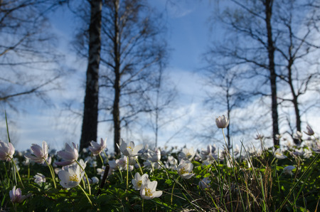 Photo of windflowers taken from ground level with trees and blue sky in the background photo