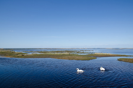 oland: Pair of mute swans in a wetland at the swedish island Oland