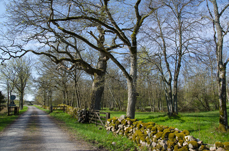 deciduous woodland: Road at an old rural landscape with old trees and mossy stone walls at the island Oland in Sweden Stock Photo