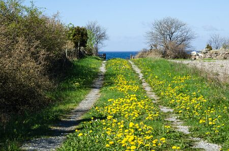 Landscape with blossom dandelions at a country road to the coast at spring photo