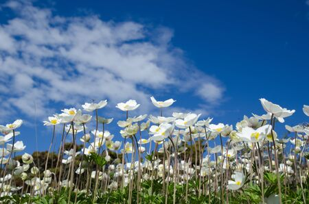 raises: White Snowdrop anemones raises upwards to the sky