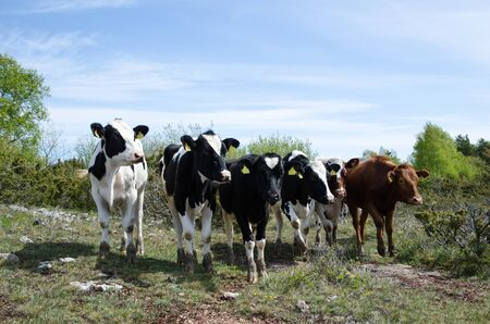 pastureland: Group of curious cattle is looking in a pastureland at spring